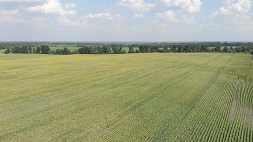 Flight over the sunflower field. Beautiful countryside landscape.