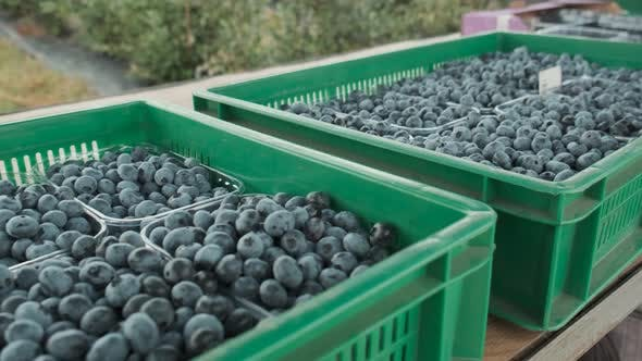 Blueberry Harvest Is Collected in Boxes Ready for Transportation