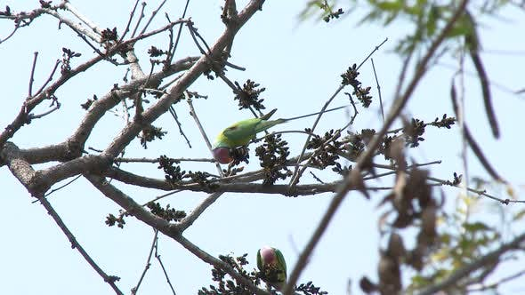 Thumbnail for Plum-headed Parakeet Several Foraging Looking For Food in Spring