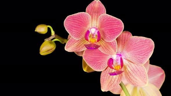 Thumbnail for Blooming Red Orchid Phalaenopsis Flower