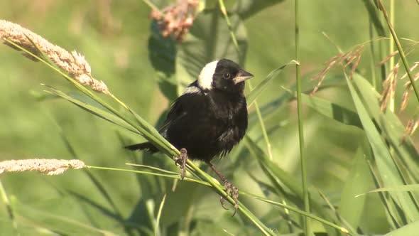 Bobolink Bird Perched in Summer in Minnesota Tallgrass Prairie Grassland