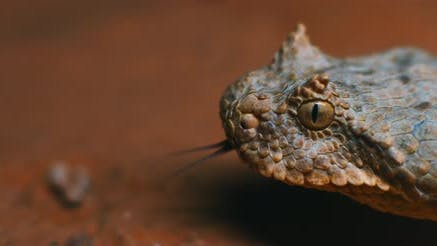 Thumbnail for Extreme close up of horned viper snake taking out its tongue while moving.