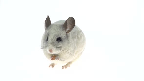 Thumbnail for Cute White Chinchilla Eating a Nut. Isolated on a White Studio Background.