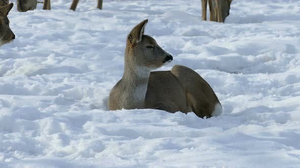 Thumbnail for Deer in The Snow