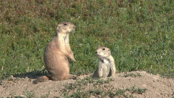 Thumbnail for Black-tailed Prairie Dog Pair Calling in Summer Yip Jump Burrow Mound