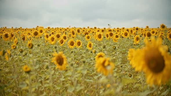 Thumbnail for A Field Full of Bright Sunflowers in Overcast Weather