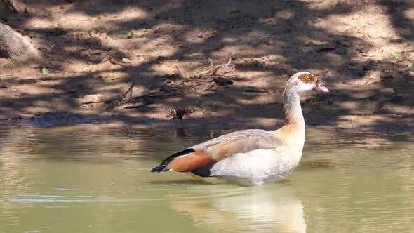 Thumbnail for Two Egyptian goose in a lake