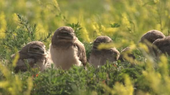 Thumbnail for Burrowing Owl Young Chicks Family Brood Looking Around in Summer