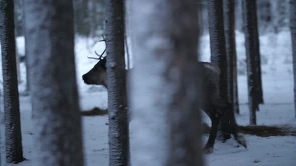 Thumbnail for Beautiful Female Deer Running Around in a Pine Forest in Finland in Slow Motion