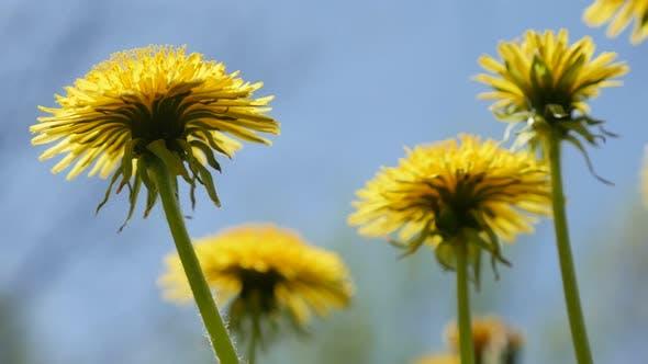 Thumbnail for Beautiful Taraxacum flower field natural background 4K 3840X2160 UHD footage - Lot of yellow dandeli