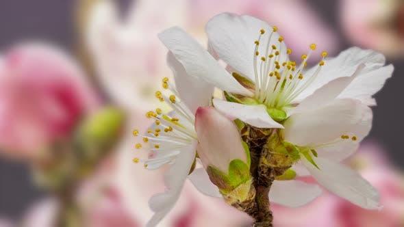 Thumbnail for Apricot Blossom Timelapse