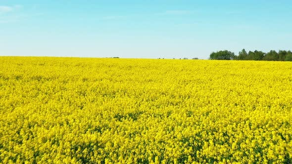 Flight Aerial View Of Agricultural Landscape With Flowering Blooming Rapeseed Oilseed In Field
