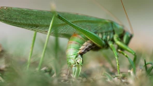 Big Green Locust Female Lays Eggs