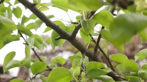 Grüne Blätter auf Birnbaum für Textur-Hintergrund