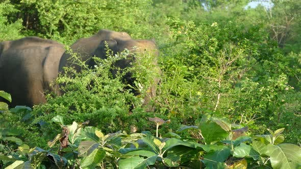 Asian elephant eating in the forest