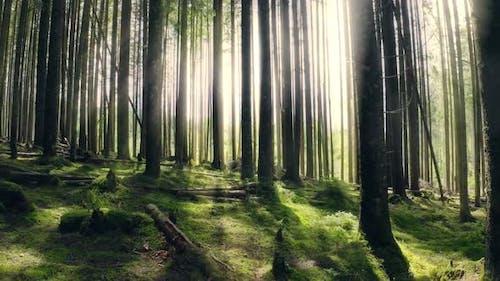 Forest Morning Sun Rays Light Jungle Green Grass Nature