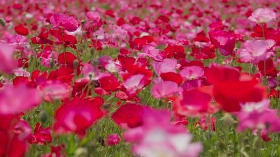Thumbnail for Poppy flower field