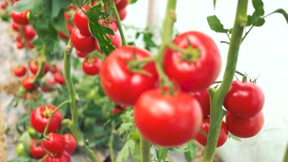 Ripe Tomato Vegetables Growing on Vine in Greenhouse
