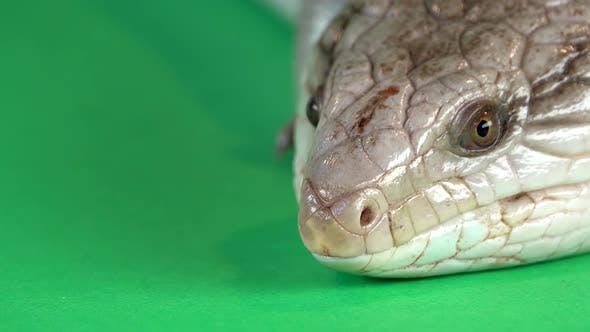 Blue-tongued Lizard Showing His Blue Tongue at Green Background Screen. Extreme Macro Shot, Close Up