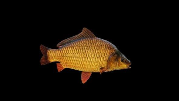 Thumbnail for Carp Fish