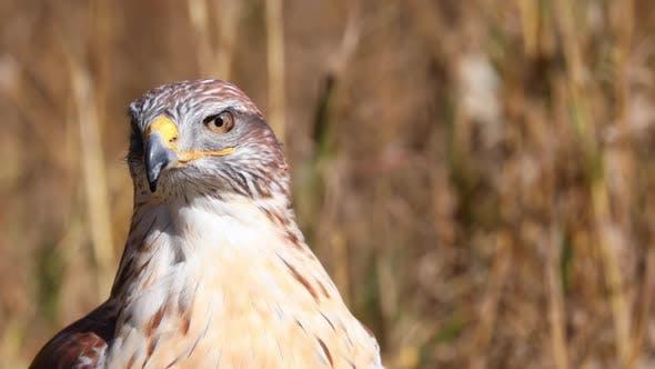 Closeup of a Female Ferruginous Hawk