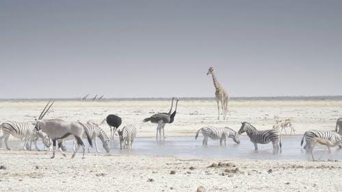 Waterhole With Ostrich Giraffe and Zebra