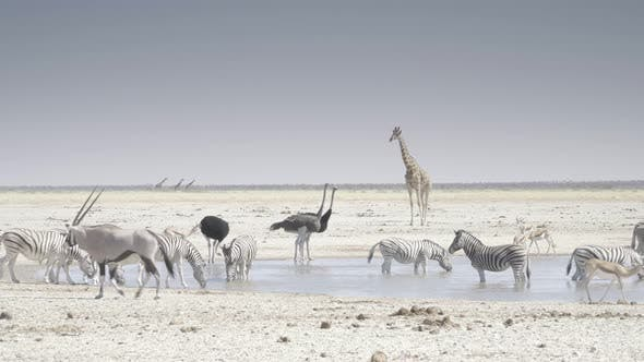 Thumbnail for Waterhole With Ostrich Giraffe and Zebra
