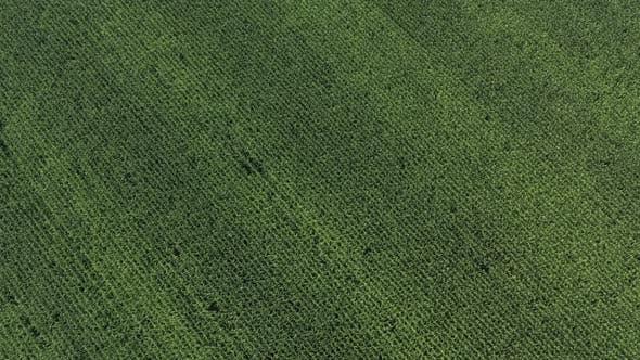 Slow descending on maize field crop 4K drone video