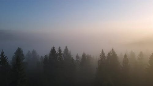 Thick Fog In The Forest High In The Mountains. Dawn In The Carpathians