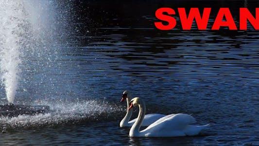 Thumbnail for Swan