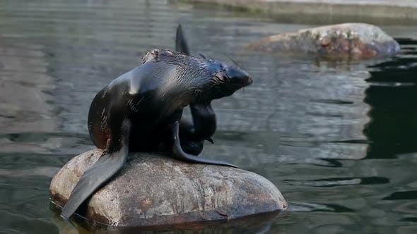Northern Fur Seal Sitting on a Rock