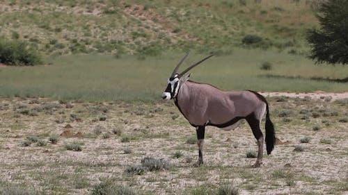 Gemsbok, Oryx gazella in Kalahari