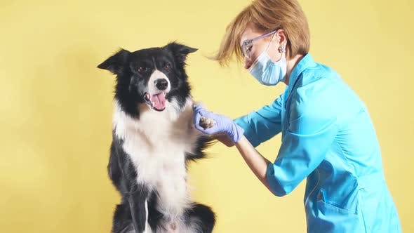 Thumbnail for Girl Touching the Sick Paw of a Breed Dog Isolated Yellow Background