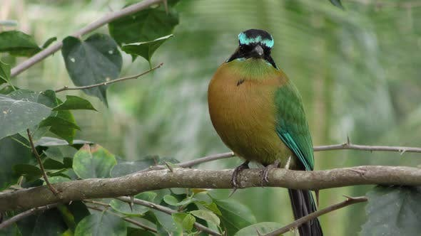 Thumbnail for Blue-crowned Motmot Adult Lone Dry Season in Belize