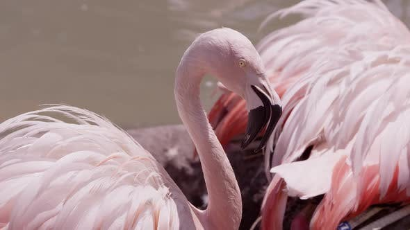 Up close view of flamings with feathers fluffed