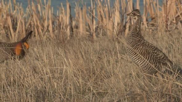 Thumbnail for Prairie Chicken Male Female Adult Breeding in Spring in Fort Pierre National Grasslands South Dakota