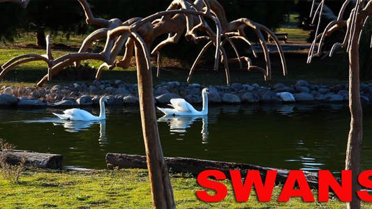 Thumbnail for Swans
