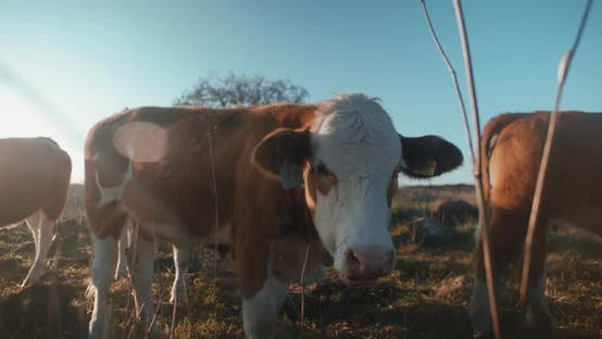 Brown cow chewing grass at sunset