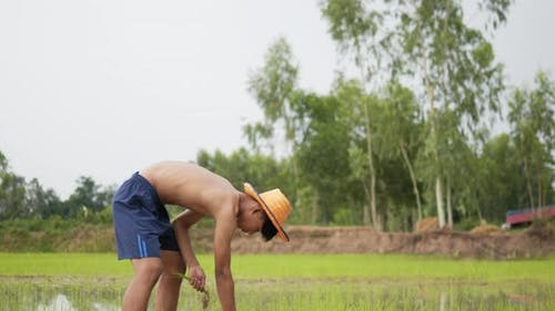Young adult topless farmer planting seedling of rice in field.