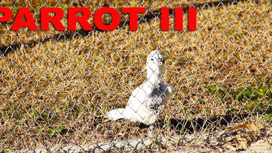 Thumbnail for Parrot III