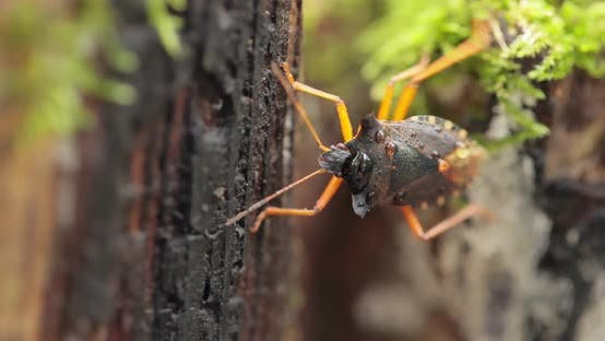 Thumbnail for Forest Bug or Red-legged Shieldbug Pentatoma Rufipes Is a Species of Shield Bug