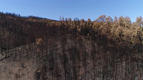 Pine Forest Black HIlls Burned Dead Trees Brown Needles Fire Post-fire Scorched