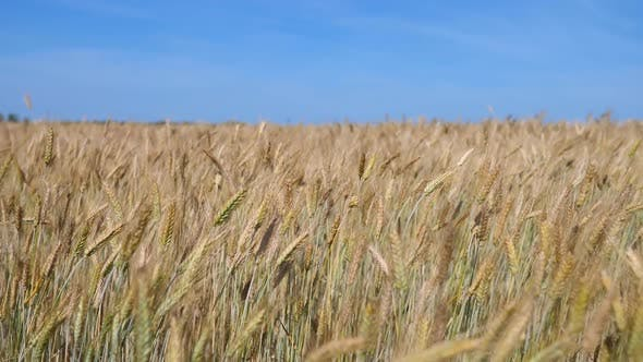 Thumbnail for Gold Wheat Field And Blue Sky. Idyllic Nature Landscape.