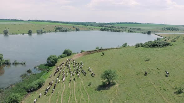 Thumbnail for Dairy herd of cows grazing in field near lake, aerial drone view. Agricultural concept