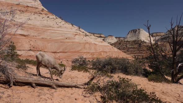 Thumbnail for Desert Bighorn Sheep Immature Foraging Looking For Food Spring Barren Terrain Dry Drought Dirt Sand