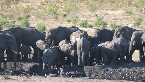 Thumbnail for Herd of African Bush elephants around an almost dry waterhole