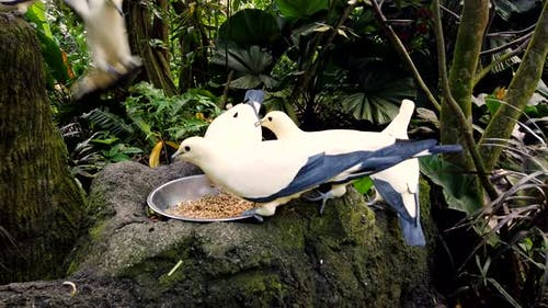 Feeding of Beautiful Dove in Jungle Park, Closeup. Pigeons White and Blue Color.