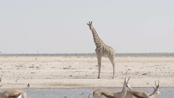 Giraffe Swinging Tail