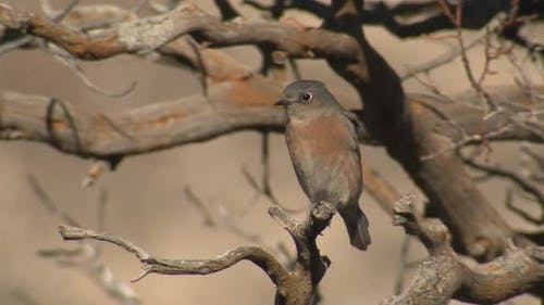 Western Bluebird Perched Dry Season in Guadalupe Mountains National Park Texas