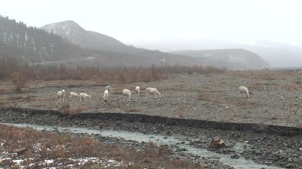 Thumbnail for Dall Sheep Ewe Female Herd Many Foraging Looking For Food in Autumn Riverbed Gravel Rocks Rain